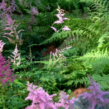 astilbe_picture
