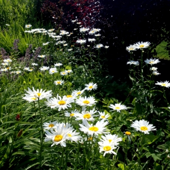 daisies_pictures
